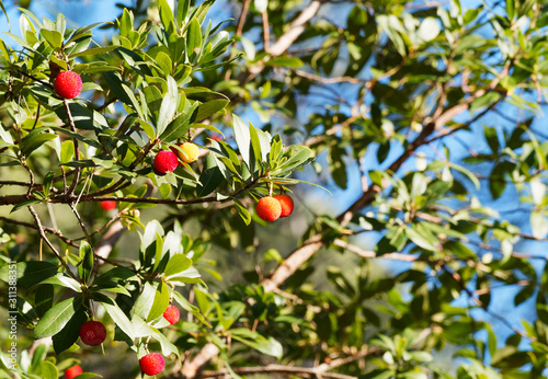 Westliche Erdbeerbaum in Provence (Arbutus unedo) mit großen Früchte, grün, reif Wallpaper Mural