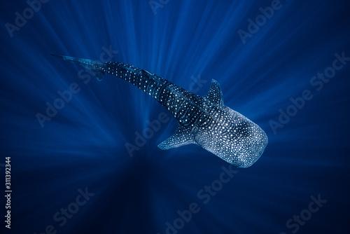 Cuadros en Lienzo Whale Shark