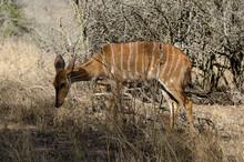 Nyala, Femelle,.Tragelaphus Angasii, Parc National Kruger, Afrique Du Sud