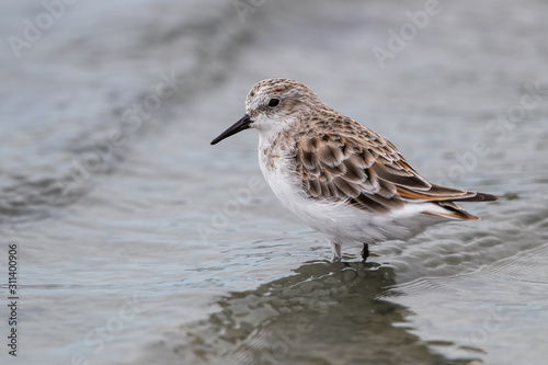 Little Stint Wading in Water Canvas-taulu