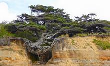 Tree Of Life, At Kalaloch Tree...