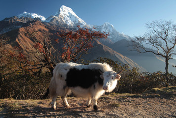 Cute yak against the background of mountain tops. Nepal. Himalayas