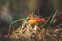 Poisonous Fly Agaric/ Fly Aman...