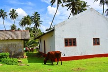 Cows Graze Under Palm Trees