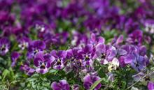Purple Pansies Flowers Background