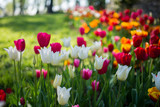Fototapeta Tulips - tulip