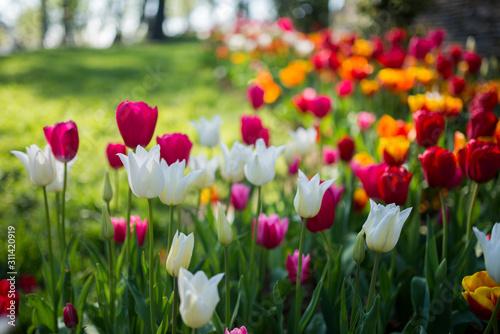 Fototapeta tulip obraz