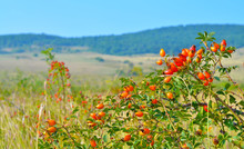 A Bush With Bright Orange Rosehip Fruit In A Sunny Meadow. Close Up. Selective Focus.