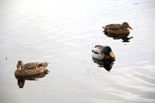 Wild Ducks Swim In Lake