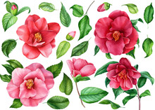 Set Of Camellia Flowers, Leaves And  Buds On An Isolated White Background, Watercolor Illustration, Hand Drawing, Botanical Painting, Floral Elements