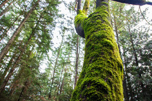 Moss Covered Tree In Westwood ...