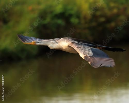 Female Australasian Darter in Flight Fototapet