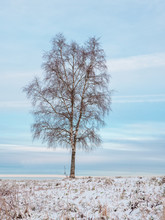 A Lone Birch Tree On A Snowy H...