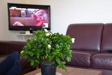 Relax Davanti Alla Televisore: Pianta Di Gardenia In Primo Piano Con Accanto I Piedi Di Uno Spettatore , Televisione  Con Un Programma Di Intrattenimento