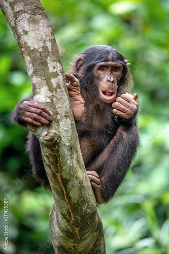 Bonobo on the tree in green jungle. The Bonobo ( Pan paniscus), earlier being called  the pygmy chimpanzee. Congo. Africa