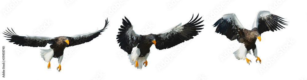 Fototapeta Various phases of a flying Adult Steller's sea eagle.  Scientific name: Haliaeetus pelagicus. Isolated on white background.