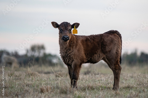 Single Angus crossbred calf Wallpaper Mural