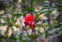 Phoenix Flower 凤凰花