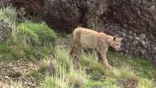 An Eight Months Old Puma Cub W...