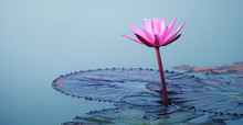 Beautiful Pink Lotus Flower Wi...