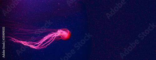 Slika na platnu Beautiful coral color jellyfish in neon light floating in the aquarium