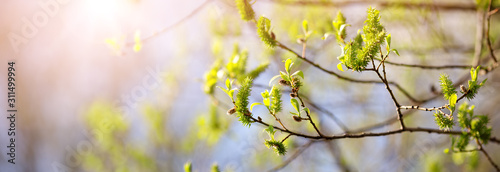 New buds in springtime with young leaves on green spring background.