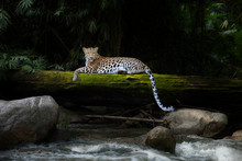 Leopard Relax In The Rain Forest On The Timber With Moss