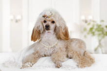 White Toy Poodle Dog Is Lying ...