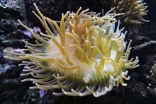 A Close-up Of A Yellow Sea Ane...