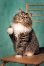 Playful Fluffy Tabby Cat Wrink...