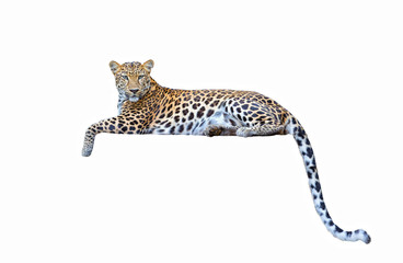 Fototapeta Pantera leopard isolated on white background