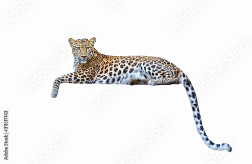 Obraz na plátne leopard isolated on white background