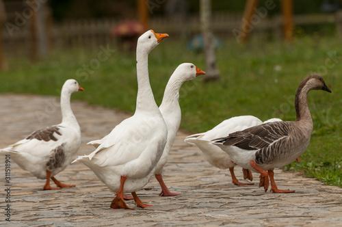 Fotografie, Obraz  Animales de granja