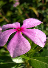 Dew Drops On Madagascar Periwinkle Flower