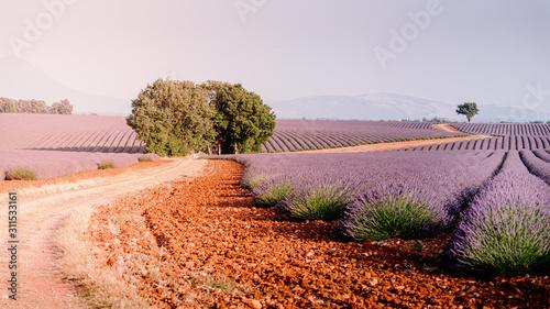 Fototapeta Provence, Southern France. Lavender field in bloom. Valensole obraz