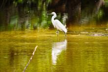 Great Blue Heron In Water, Pho...