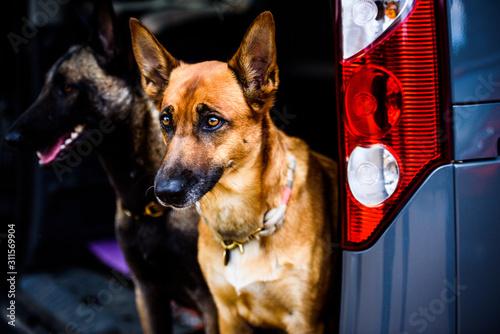 Stampa su Tela Hund im Auto Kofferraum