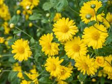 A Beautiful Chrysanthemum In T...