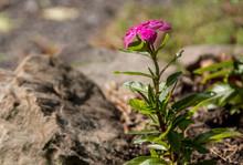 The Pink Vinca