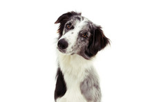 Attentive And Thinking Border Collie Dog Tilting Head Side. Isolated On White Background.