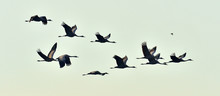 Birds In Flight. A Silhouettes...