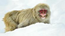 Snow Monkey On The Snow. Winte...