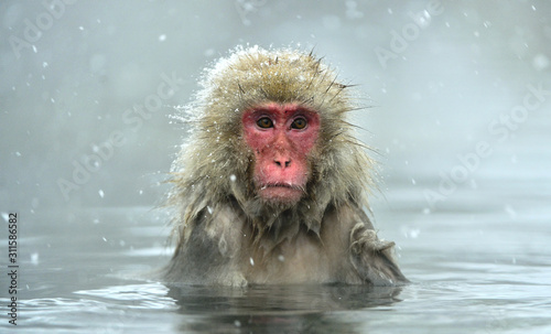 Fotografia Snow monkey in natural hot spring