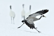 Running Crane On The Snow. Winter Season.  The Common Crane (Scientific Name: Grus Grus), Also Known As The Eurasian Crane.