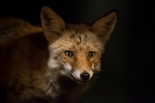 Portrait Of A Fox At Night.