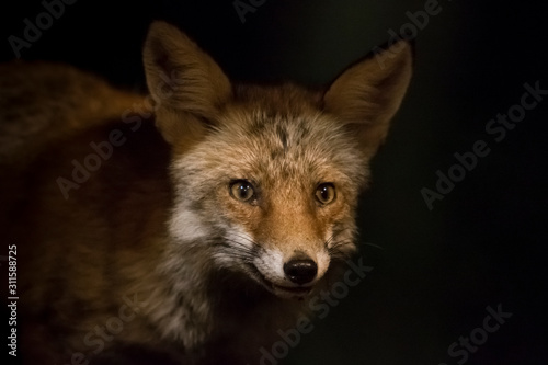 Portrait of a fox at night. Canvas Print