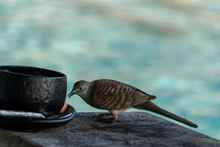 Turtledove Eating Cookie In Se...