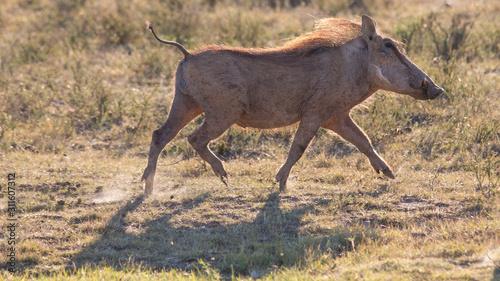 Photo  pumba warthog