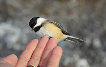 Tiny Wild Black Capped Chickadee On Fingertips Of Man With Sunflower Seeds In A Toronto Forest In Winter