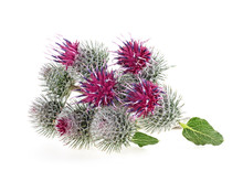 Burdock Flower Isolated On A W...